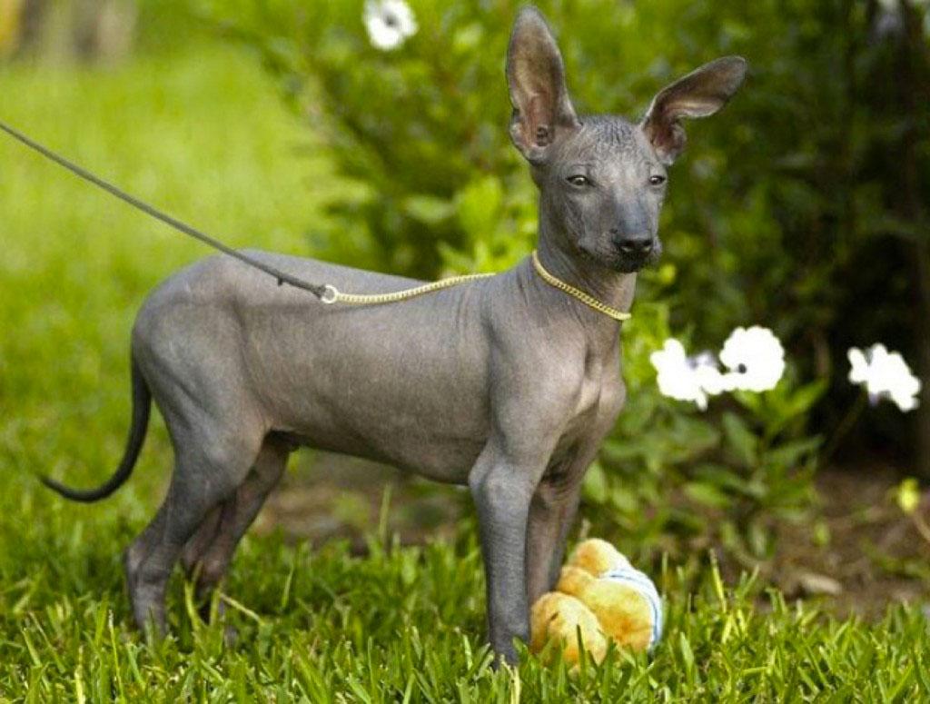 chien sans poil tondeuse chien