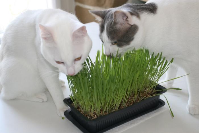 acheter herbe a chat