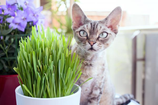 avantage herbe a chat