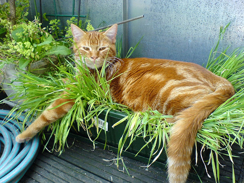 herbe-aux-chat