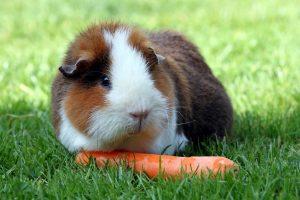 règles alimentation du cochon d'inde