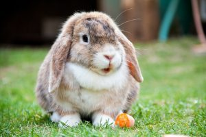 changer-alimentation-lapin