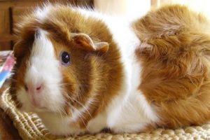 cochon-d'inde-nac-ideal-pour-la-famille