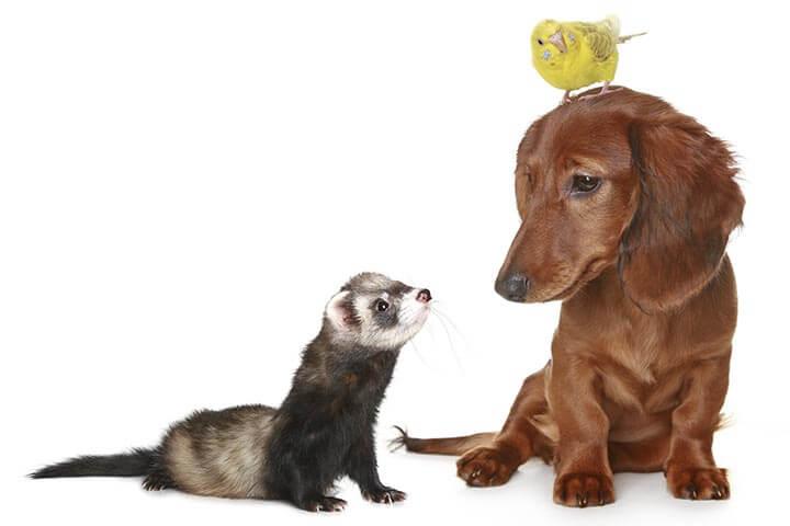 cohabition-du-furet-avec-les-autres-animaux