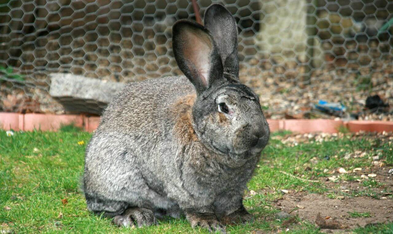 lapin obese