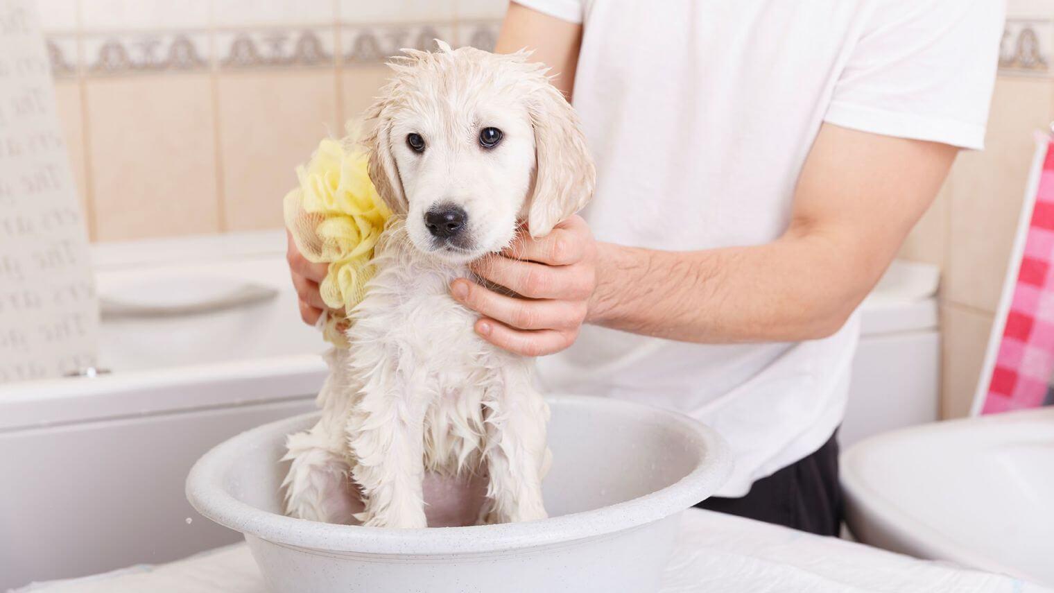 laver-son-chien