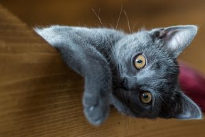 chat chartreux allongé