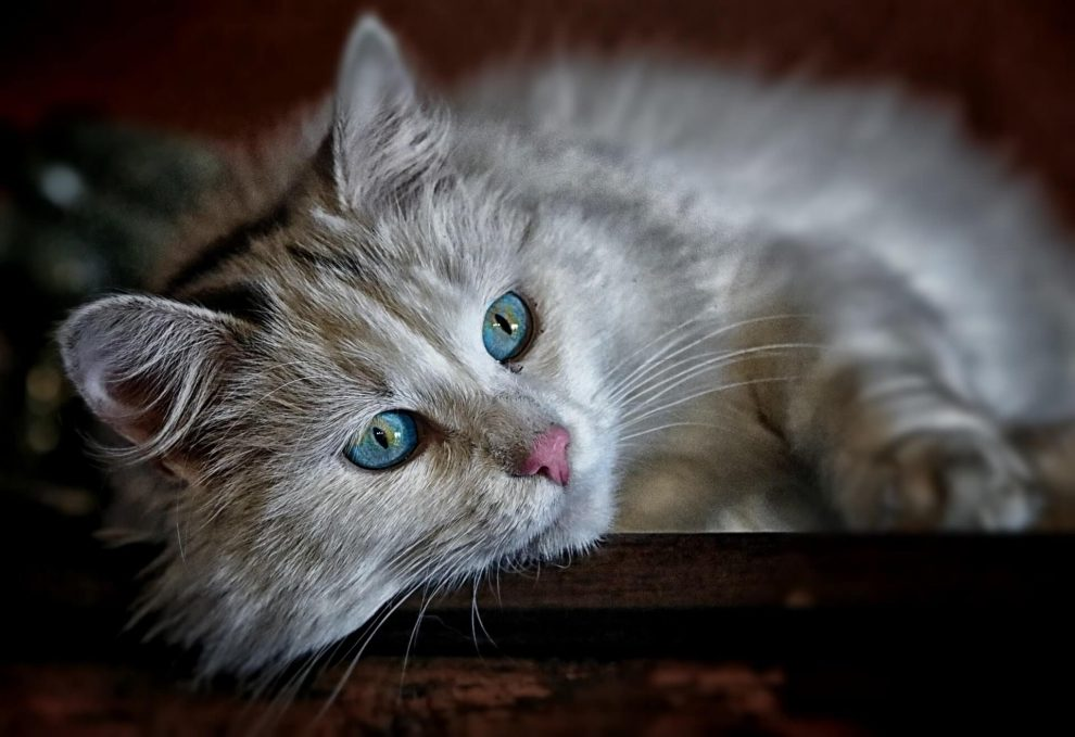 chat qui perd ses poils