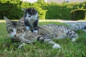 chatte avec son bébé chaton