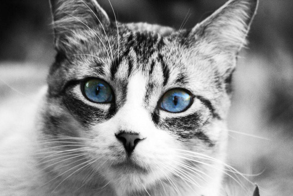 chat gris yeux bleux