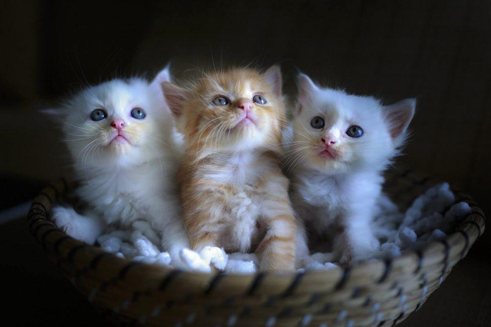 petits chatons dans un panier