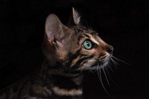 origine du chat du bengal