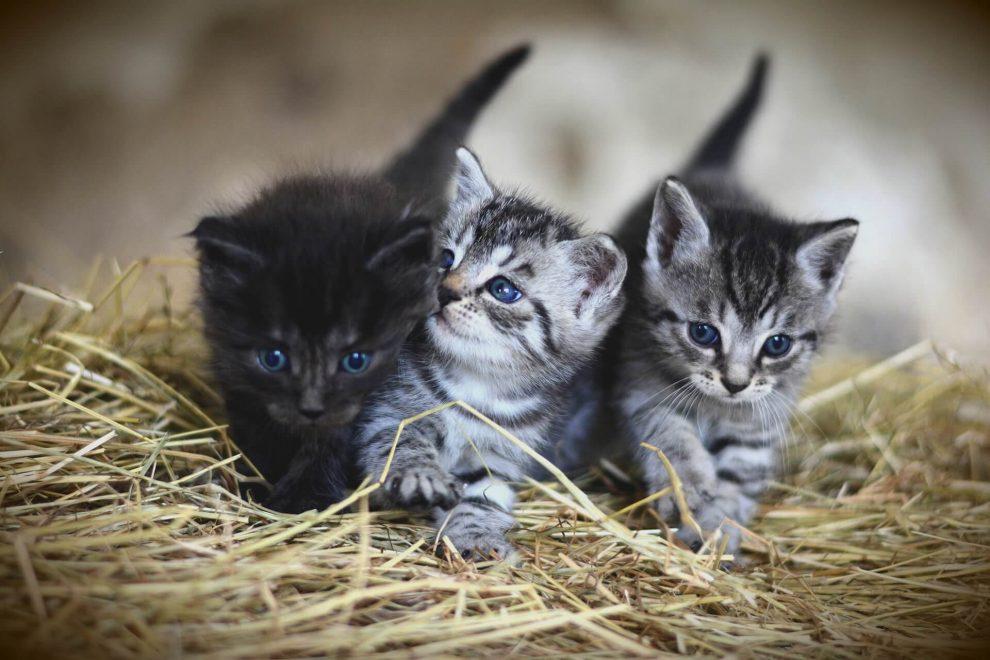 chatons tigrés et noir