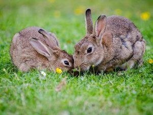 couple lapin et lapine dans l herbe