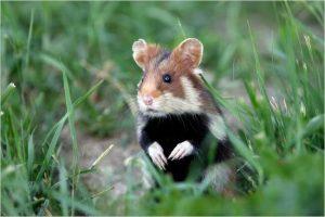 hamster alsace