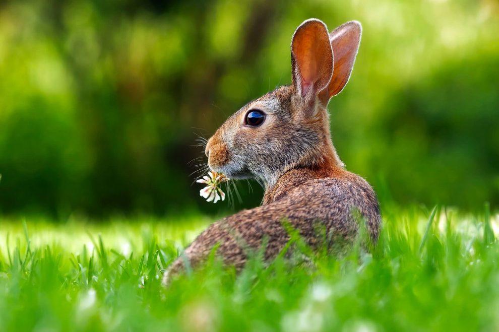 comment sexer un lapin